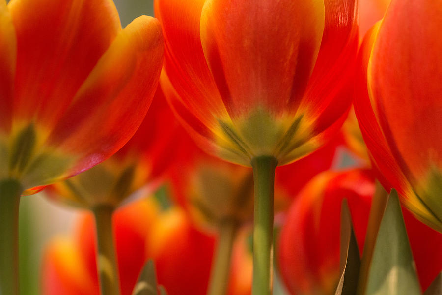 Tulips Photograph - Towering Tulips  by Julie Andel