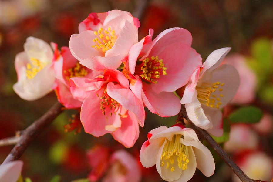 Quince Photograph - Toyo-nishiki Quince Blooms by Kathryn Meyer