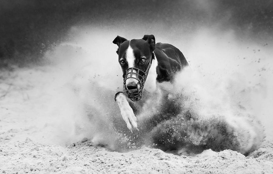 Training Photograph - Training Greyhound Racing by Muriel Vekemans