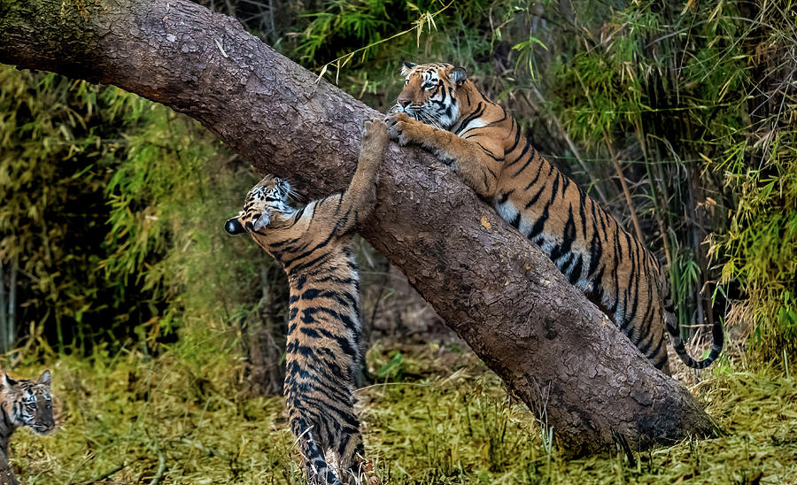 Tiger Photograph - Training Session by Pravine Chester
