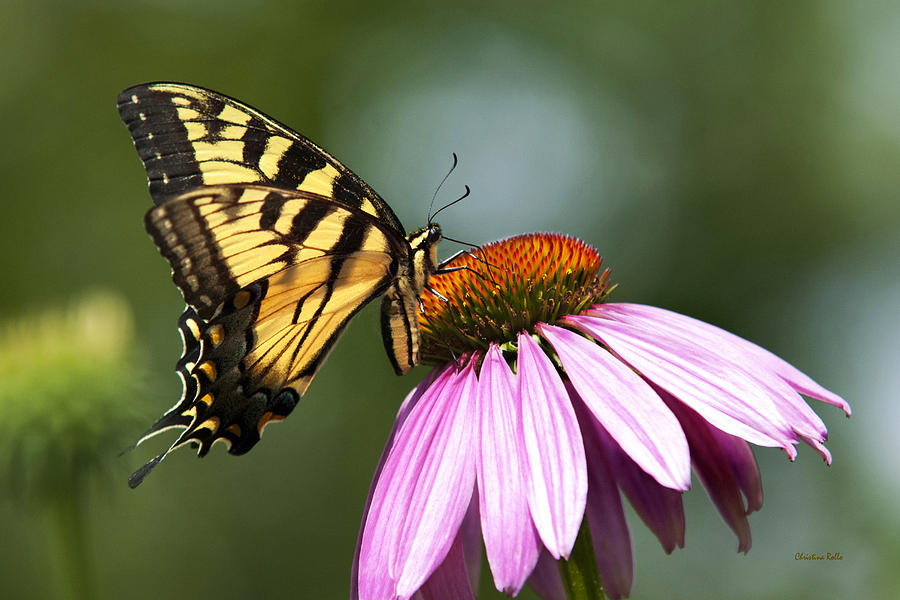 Tranquil Photograph - Tranquil Butterfly by Christina Rollo