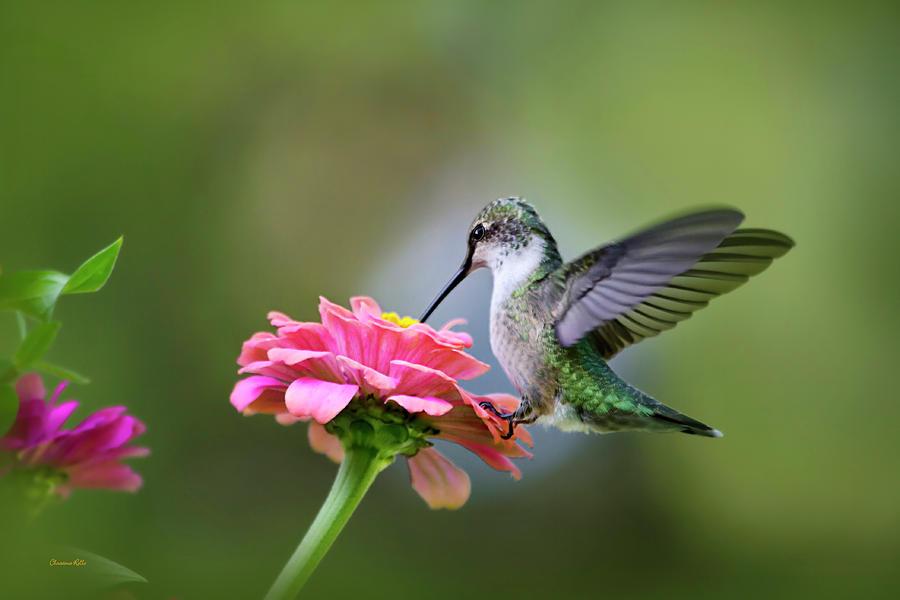 Tranquil Joy Hummingbird Art Prints for Sale