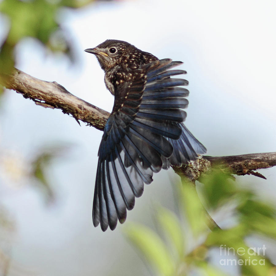 Wildlife Photograph - Translucent Juvenile Bluebird by Robert Frederick