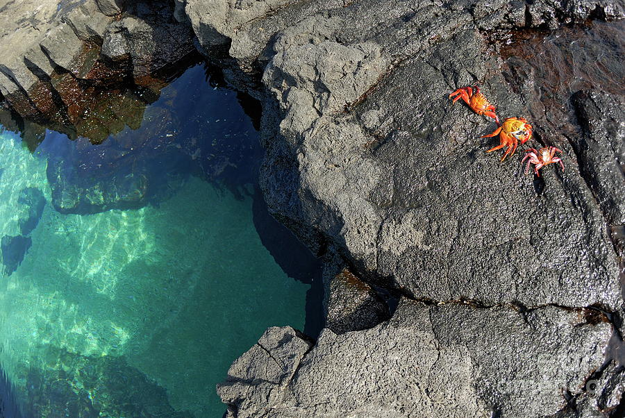 Absence Photograph - Transparent Waters And Volcanic Rocks With Sally Lightfoot Crabs by Sami Sarkis