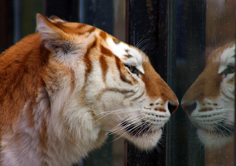 Tiger Photograph - Trapped by Jason Hochman