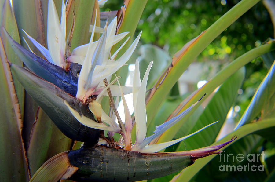 Traveler Palm Tree Flower No 2 Photograph By Mary Deal