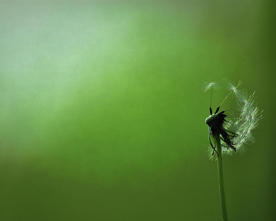 Dandelion Photograph - Tread Softly by Rebecca Sherman