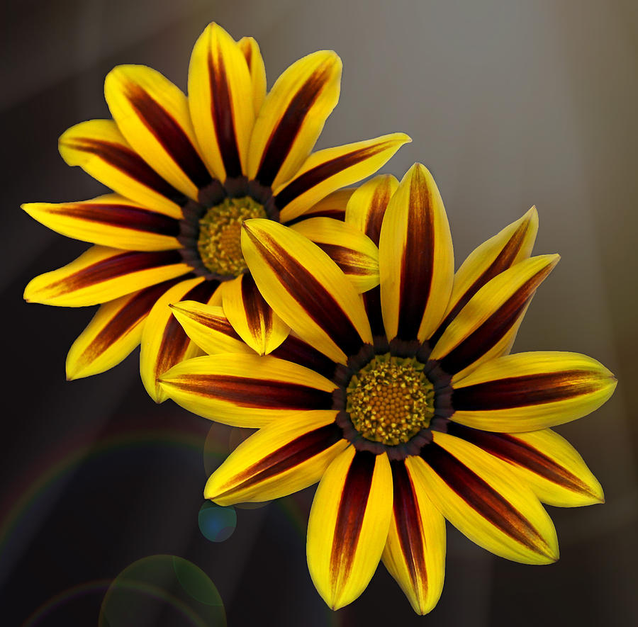 Gazania Photograph - Treasure Flowers With Light Flares by Judy Vincent