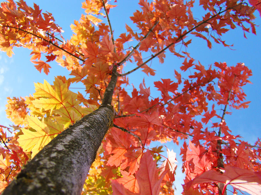 Tree Art Prints Autumn Leaves Fall Art Blue Sky Baslee Troutman