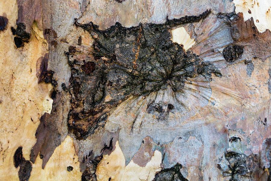 Tree Bark Patterns Photograph - Tree Barks Pattern #13 by Robert VanDerWal