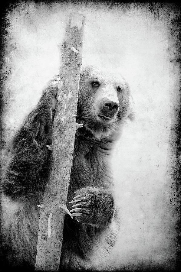 Grizzly Photograph - Tree Bear by Athena Mckinzie