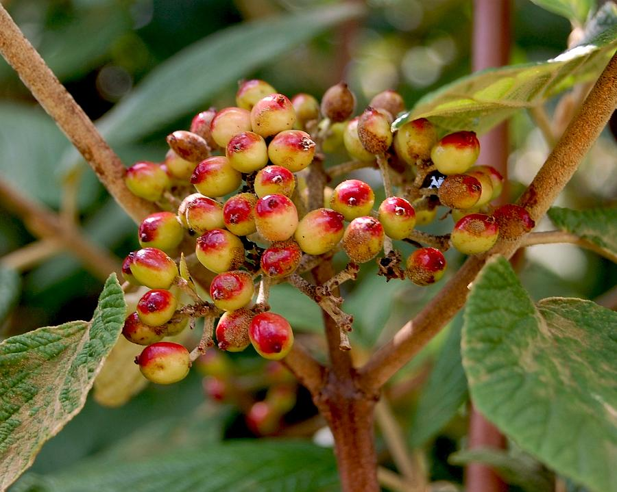 Tree Photograph - Tree Berries by Lauren  Macko