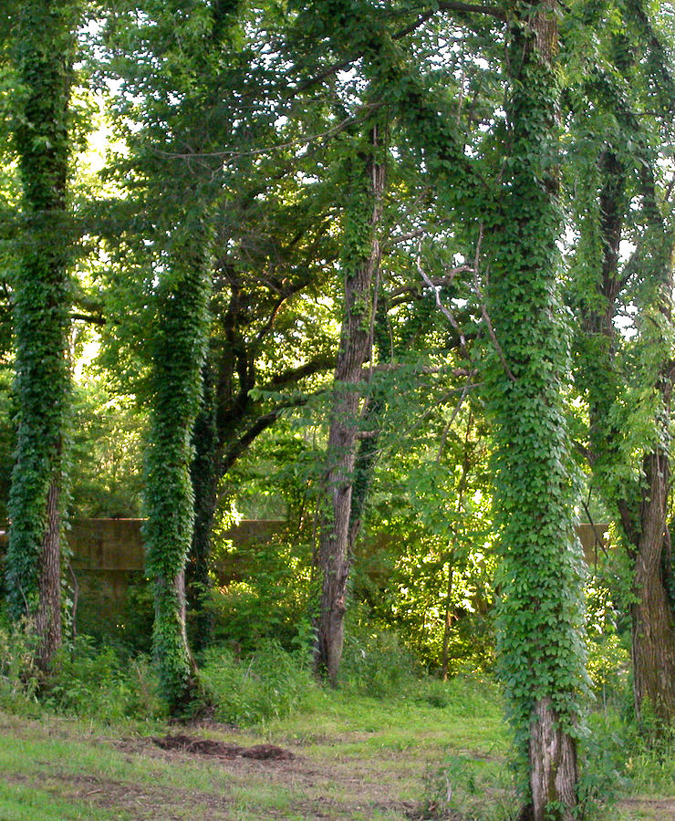 Trees Photograph - Tree Cathedral 2 by Anne Cameron Cutri
