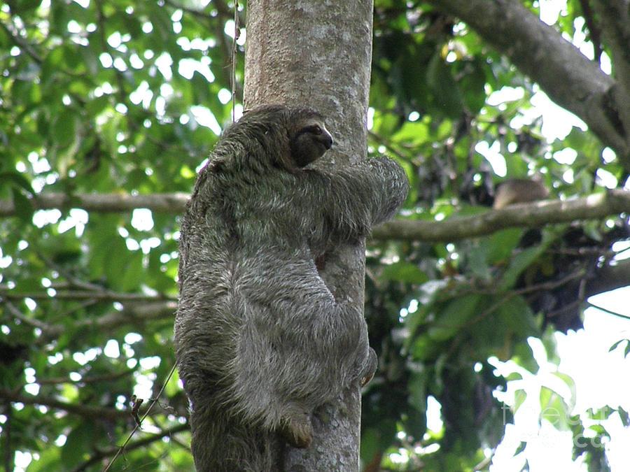 Tree Climibng Sloth In Manuel Antonio Photograph By Dejavu Designs