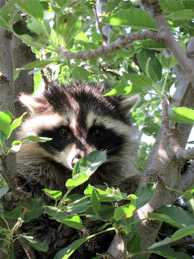 Racoon Photograph - Tree Dweller by Maxine Grossman