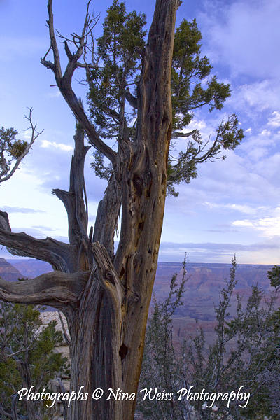 Tree Photograph - Tree Hanging Over The Grand Canyon by Nina Weiss
