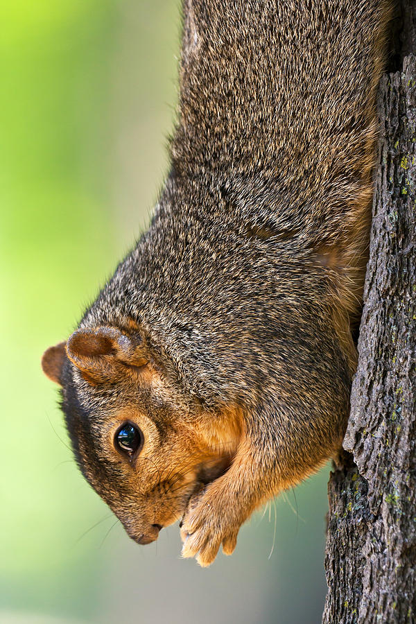 Fox Squirrel Photograph - Tree Hugger by James Marvin Phelps
