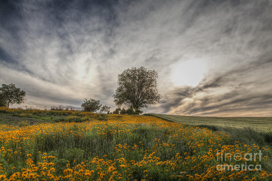 2015 Photograph - Tree In A Yellow Field by Larry Braun