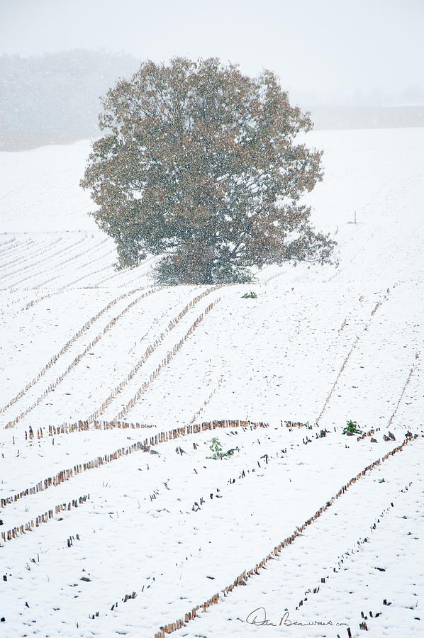 Tree In Cornfield 7543 Photograph