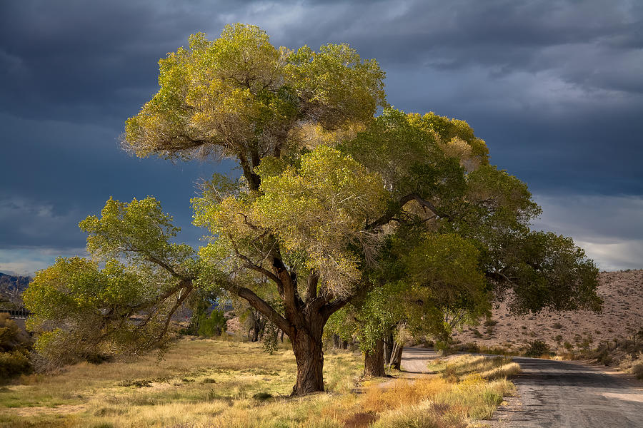 Tree in Nevada by Gunter Nezhoda