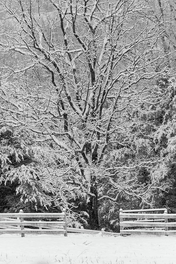 Tree in the snow - BW by Rob Narwid