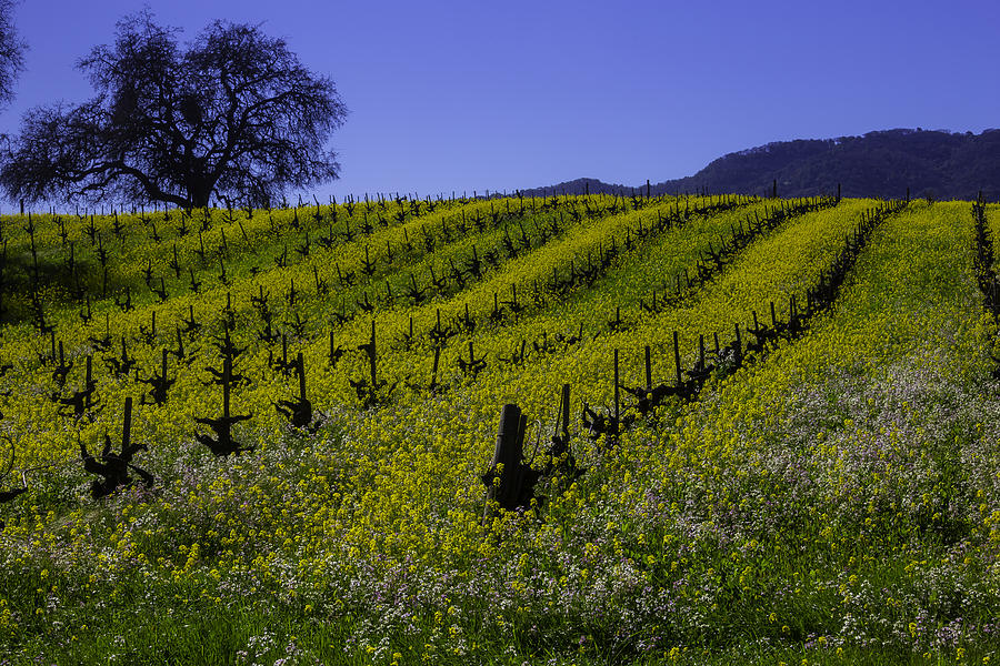 Blooms Photograph - Tree  In Vineyards by Garry Gay