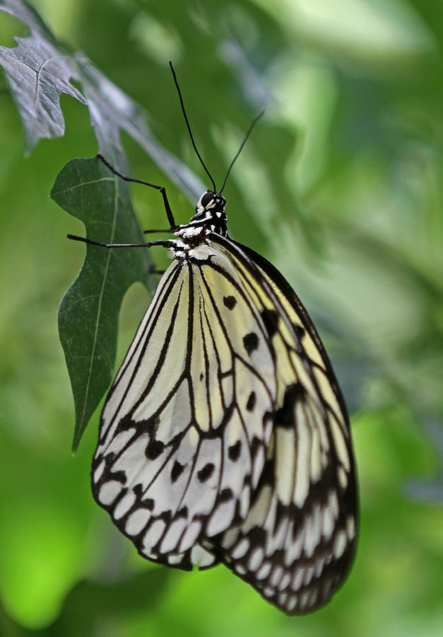 Butterfly Photograph - Tree Nymph by Juergen Roth