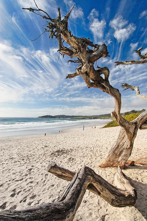 Beach Photograph - Tree On A Beach Carmel By The Sea California by George Oze