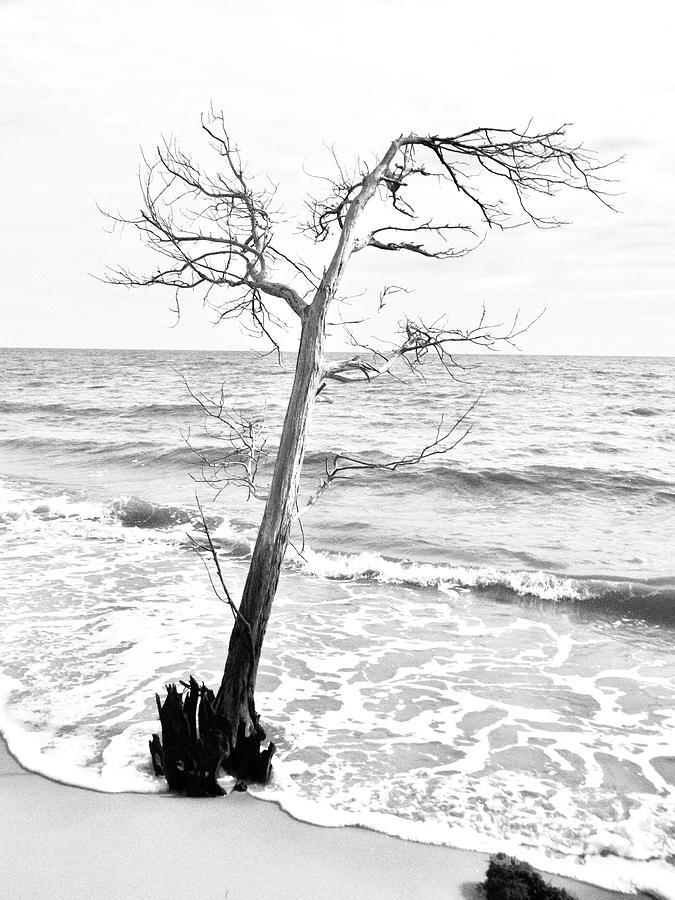 Tree on Beach  by Amanda Jane Kohler