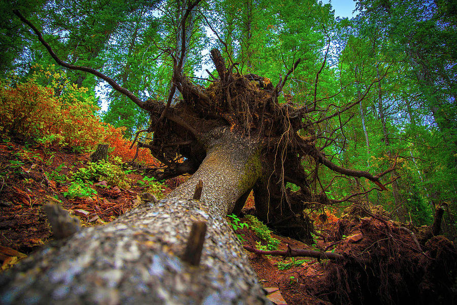 Tree Photograph - Tree Root Ball by Dan Pearce