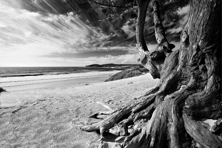 Tree Roots Carmel Beach Photograph by George Oze