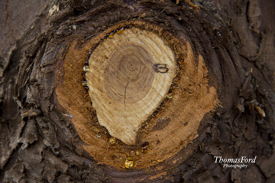 Tree Photograph - Tree Sap by Thomas Ford