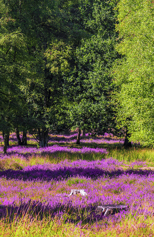 Tree Stumps in Common Heather Field by Wim Lanclus
