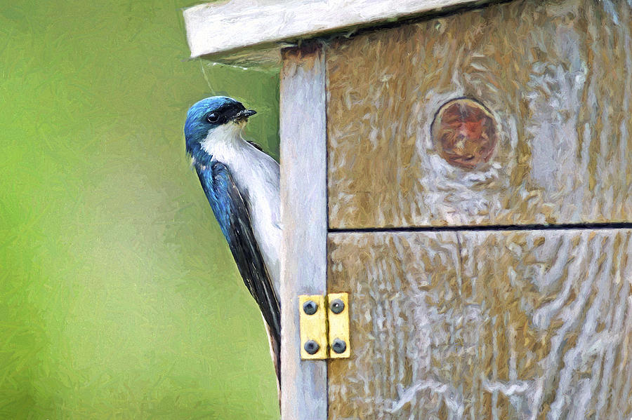 Tree Swallow Photograph - Tree Swallow At Nesting Box by Sharon Talson