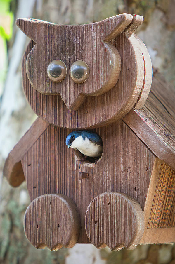 Tree Swallow In Bird House Photograph