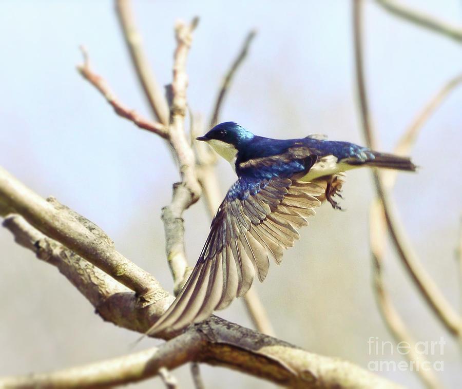 Tree Swallow In Flight Photograph