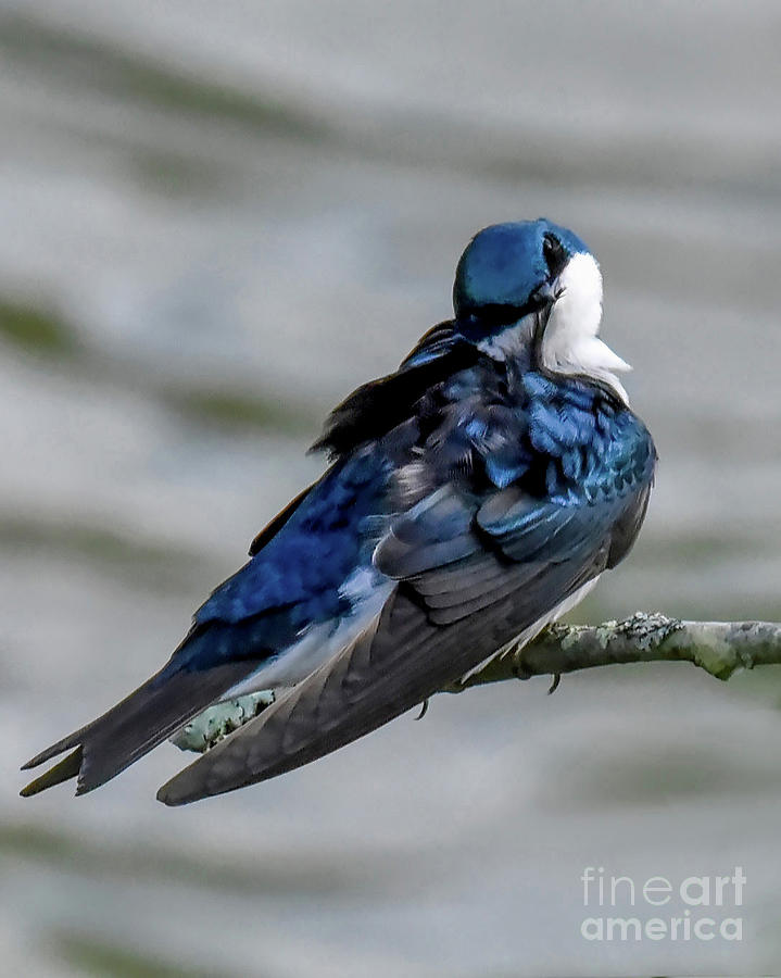 Tree Swallow Preening by Cynthia Staley