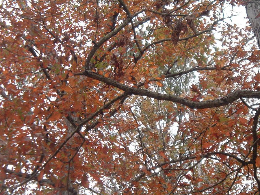 Leaves Photograph - Tree Tops by Amanda Shelburne