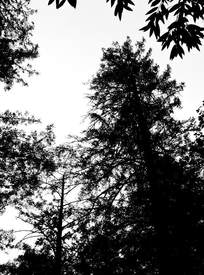 Tree Tops In Monotone Photograph