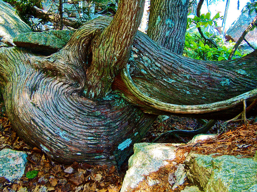 Maine Photograph - Tree Trunk By Jordan Pond In Acadia National Park-maine by Ruth Hager