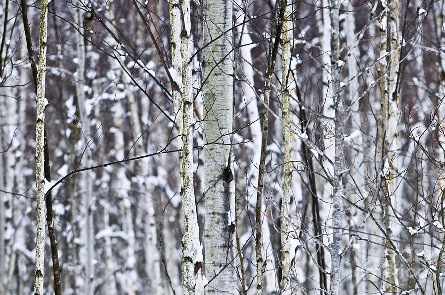 Winter Photograph - Tree Trunks Covered With Snow In Winter by Elena Elisseeva