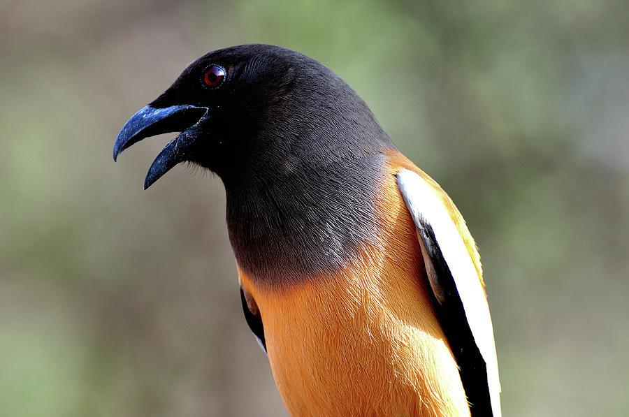 Bird Photograph - Treepie  by Manjot Singh Sachdeva