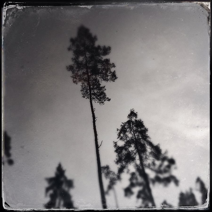 Tree Photograph - Trees black and white wetplate by Matthias Hauser