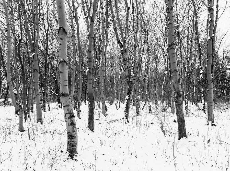 Winter Photograph - Trees In Winter Snow, Black And White by Joseph Gaul