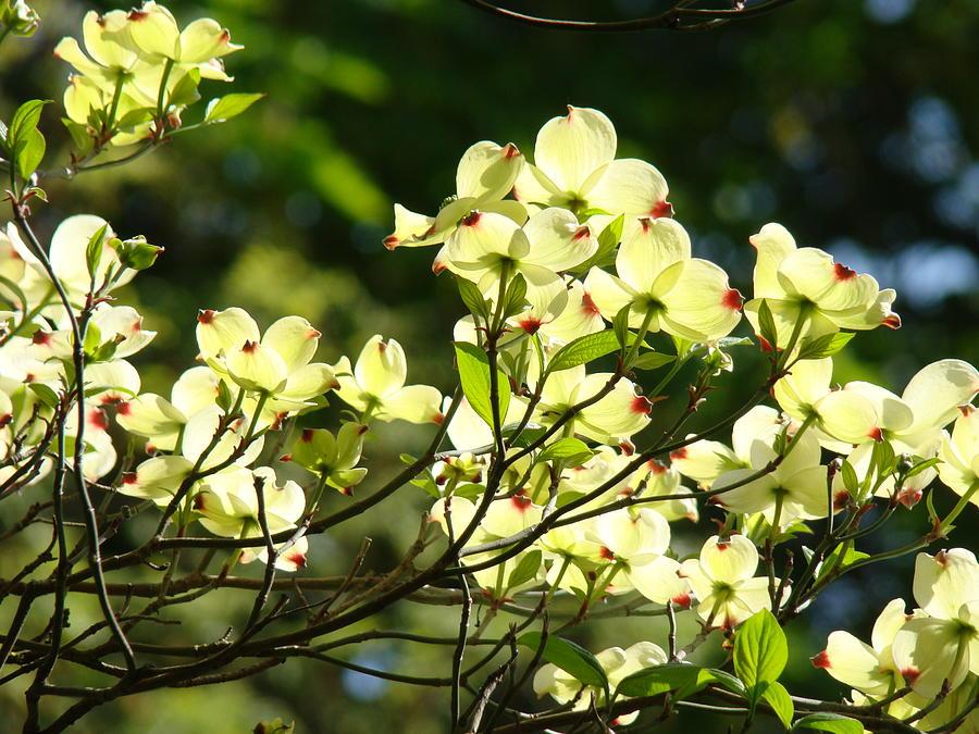 Dogwood Photograph - Trees Landscape Art Sunlit White Dogwood Flowers Baslee Troutman by Baslee Troutman