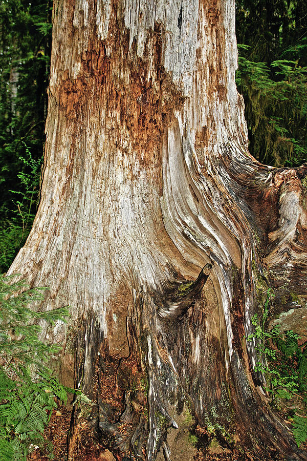 Red Cedar Tree Photograph - Trees On The Trails - Olympic National Park Wa by Christine Till