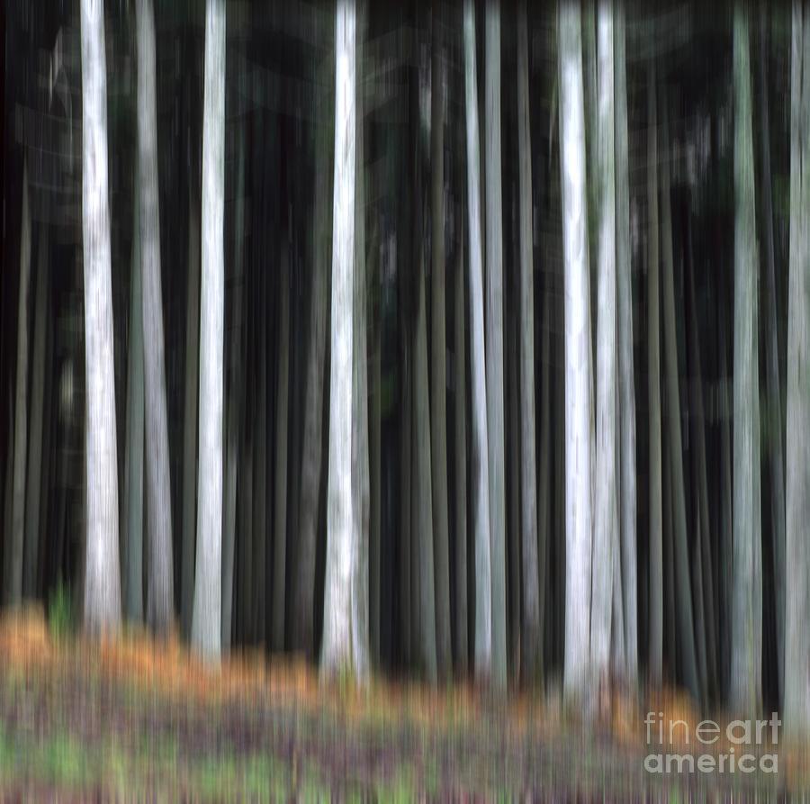 Align Photograph - Trees Trunks by Bernard Jaubert