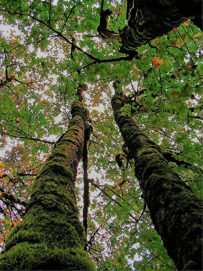 Trees Photograph - Trees Upward View by Douglas Settle