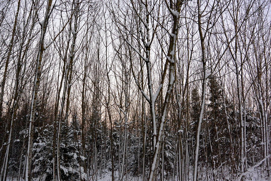 December Photograph - Trees In Winter White by Two Small Potatoes
