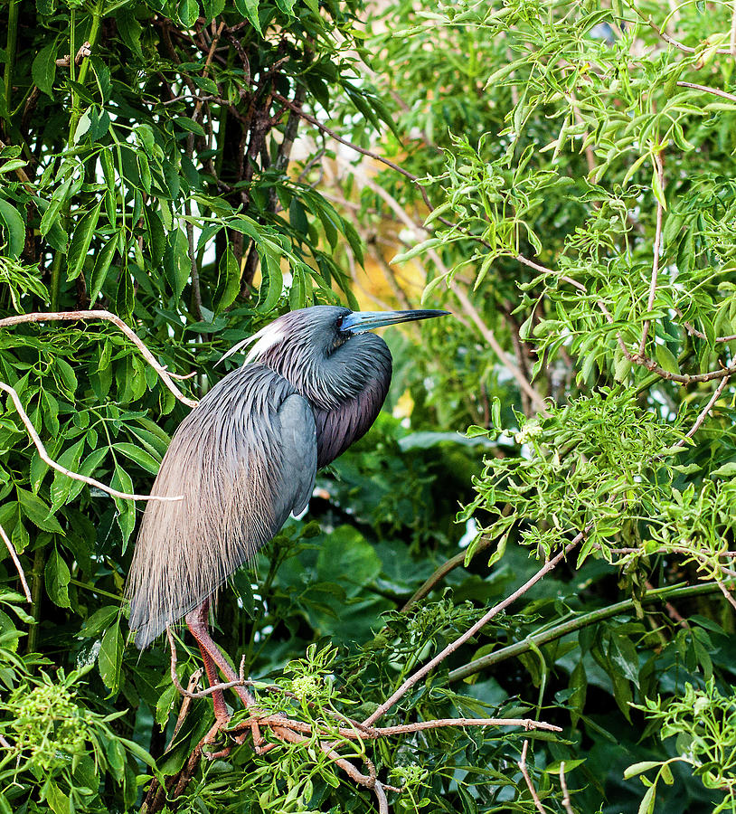 Tricolored Heron Photograph - Tri-Color Coil by Norman Johnson